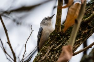 A white-breasted nuthatch sits high in a tree.