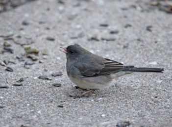 A dark-eyed junco forages on the ground