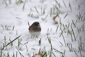 A dark-Eyed Junco sits in the snow