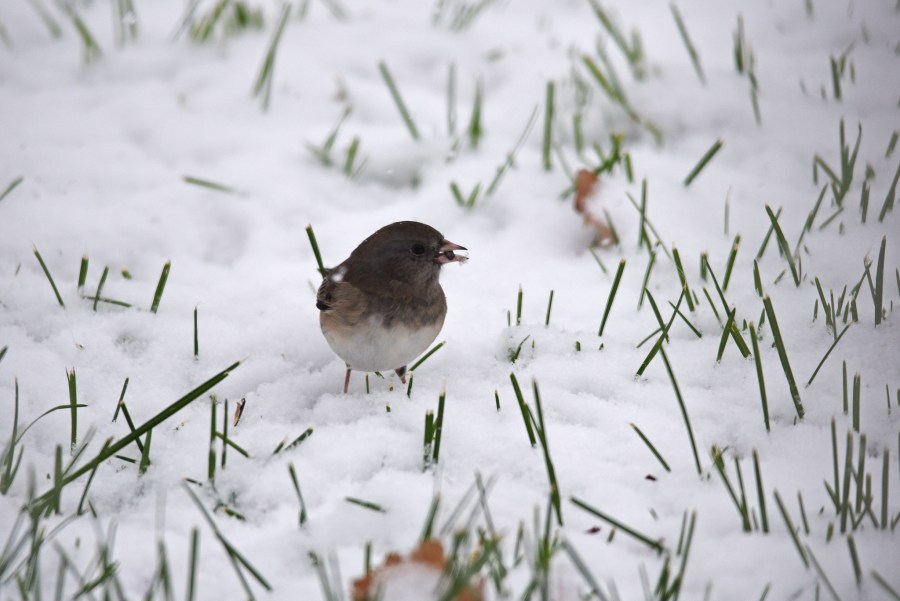 A dark-eyed junco stands in the snow. There is a seed in its mouth.