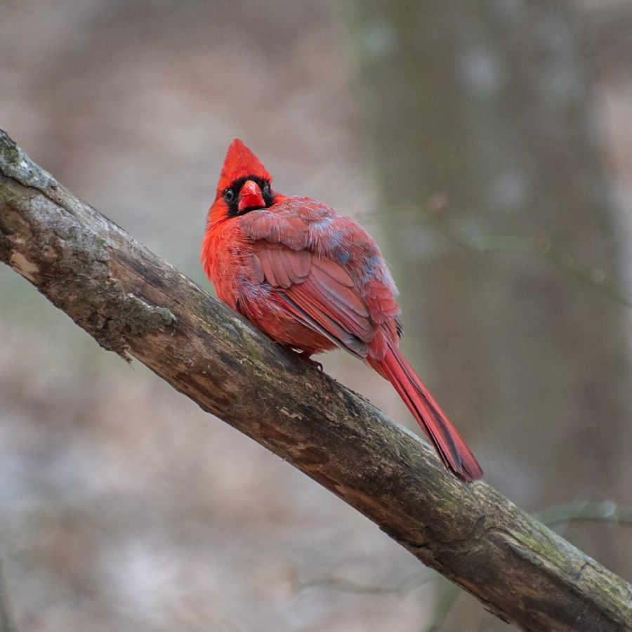 A bright red male northern cardinal sits on a tree branch, looking directly at the camera.