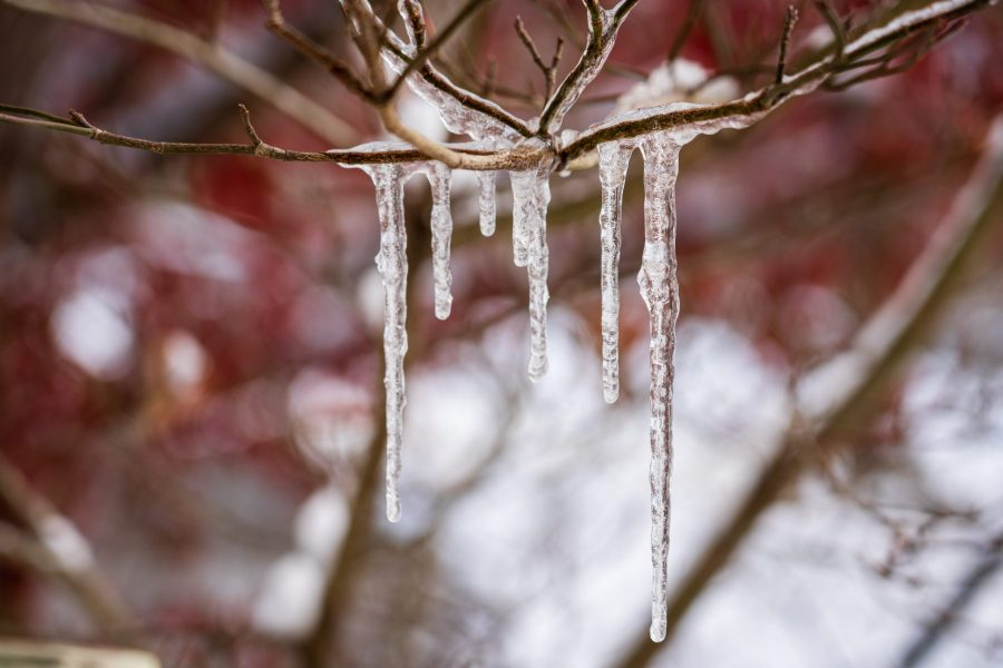 Several icicles hang from a bare tree branch.