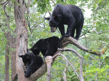 An adult female black bear stands in a tree with her two cubs.