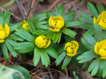The yellow flowers of winter aconite begin to bloom.