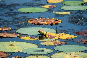 Lotus pads float atop a pond.
