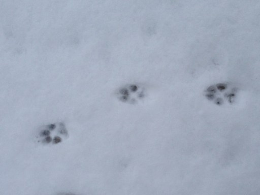 Coyote prints in the snow