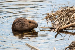 A beaver stands in water near a pile of branches and sticks.