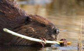 An American beaver dines on a stick.