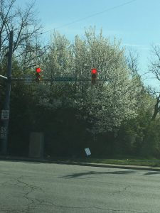 Callery pear trees stand behind a stoplight.