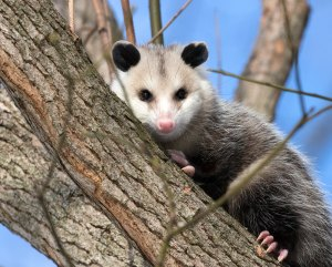 An opossum looks at the camera while sitting in a tree.