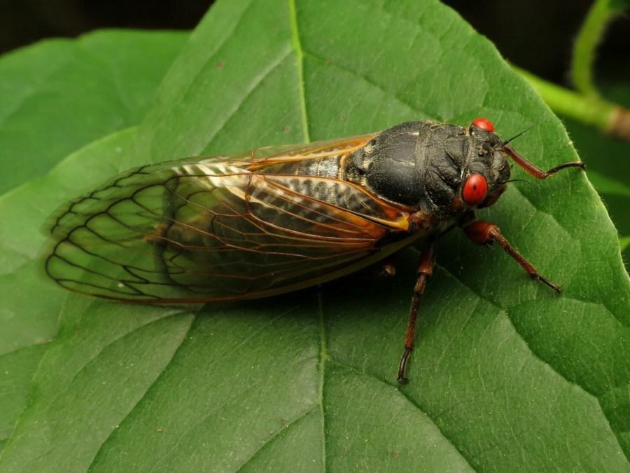 A Brood X cicada sits on a green leaf.