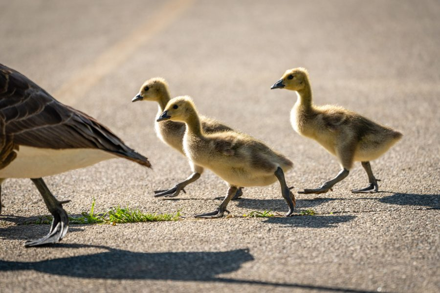 Three goslings follow their mom as they cross a paved trail.