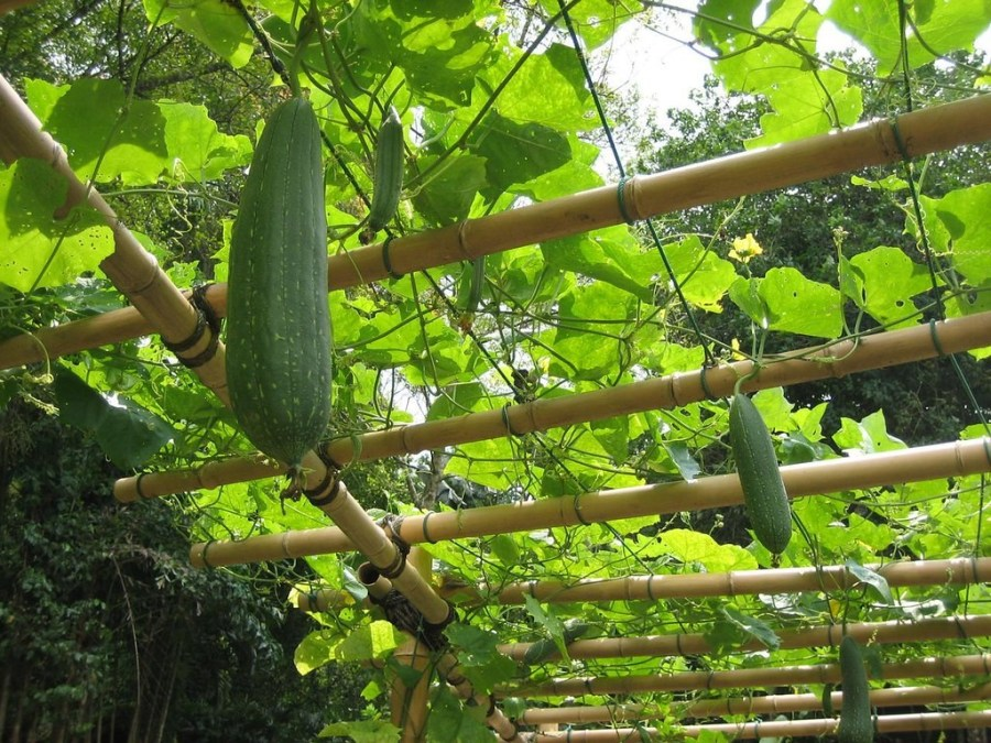 Luffa gourds hang from a tree-covered trellis.