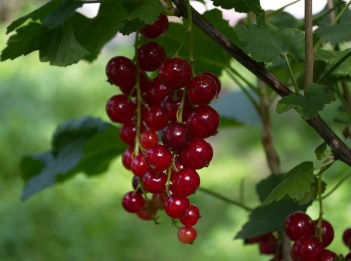 Red currants hang from a vine.