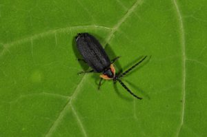 A close-up photo shows a lightning bug sitting on a leaf.