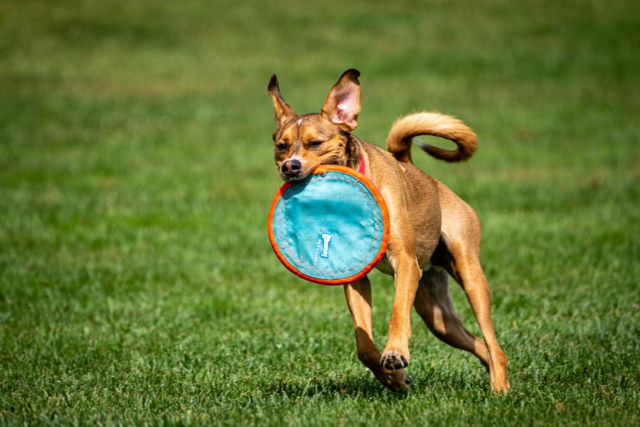 A dog runs toward the camera with a toy in its mouth,