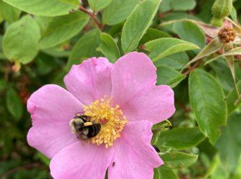 A bee lands on the pink Rosa palustris flower.