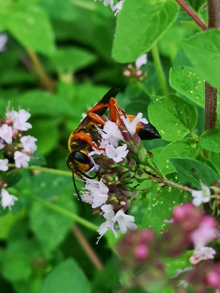 A wasp pollinates an oregano plant.