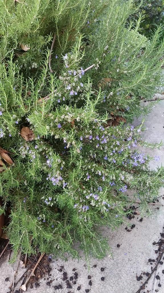 A rosemary plant.