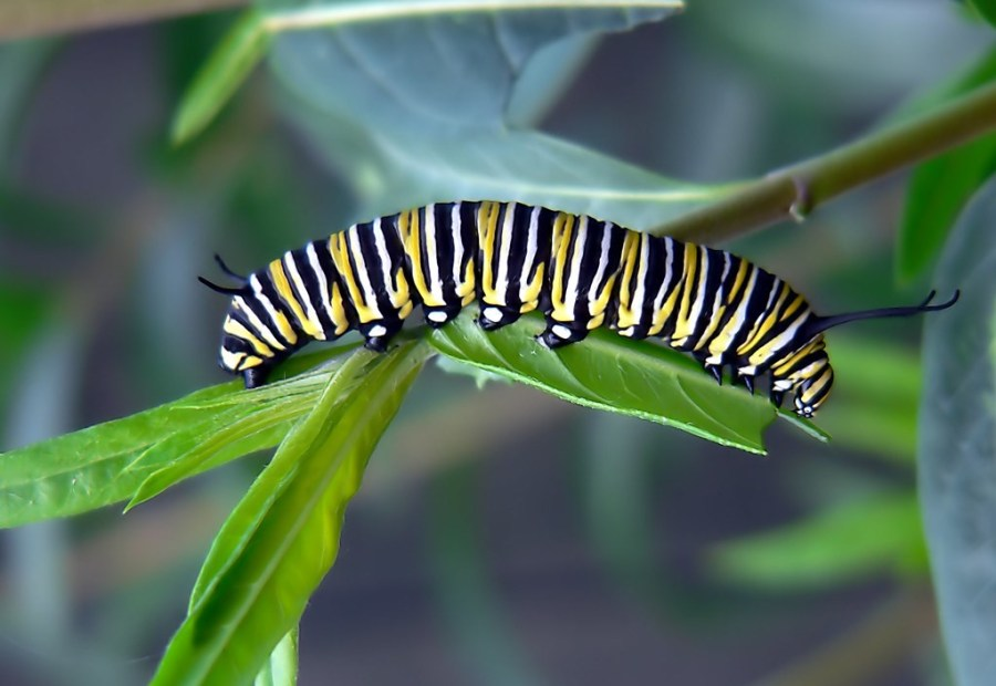 A black, yellow and white monarch caterpillar climbs on a leaf.