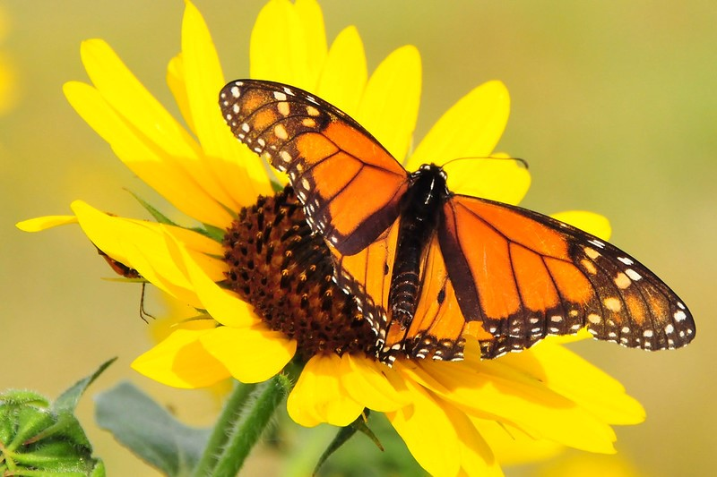 An orange monarch butterfly sits on a yellow flower.