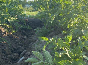 A trench dug in a garden bed allows potato plants to grow.
