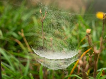 An intricate spider web from a bowl and doily spider hangs in a field.