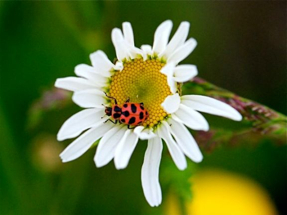 Coleomegilla-maculata1