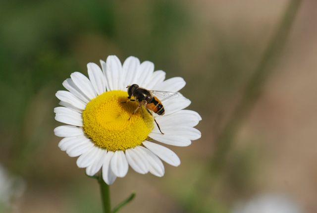 flower-fly