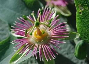 passiflora-flower