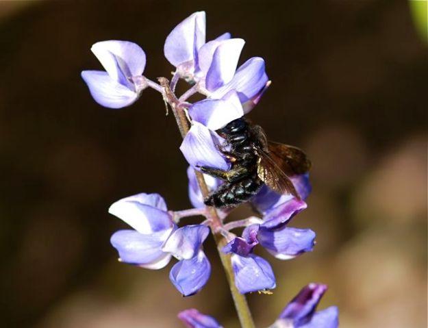 carpenter-bee1