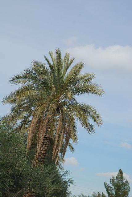 date-palm2