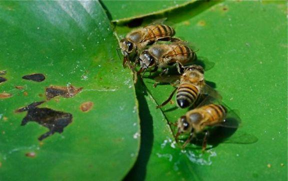 honey-bees-drinking
