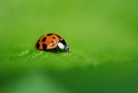 asian-multi-ladybug
