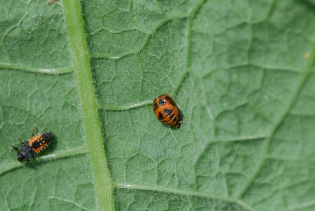 lady-beetle-pupa