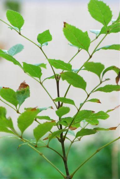 ash-tree-leaves-1