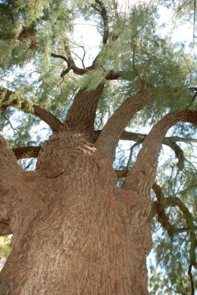 festival-tree-cedar