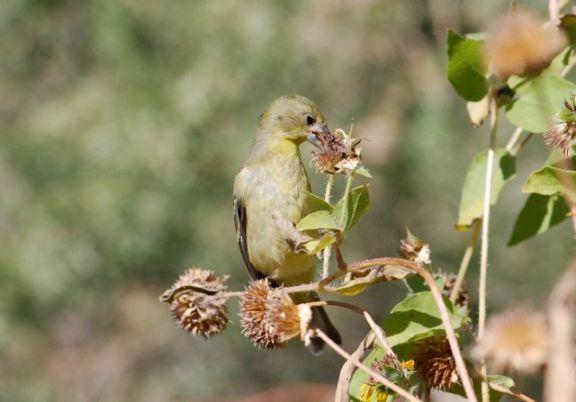 sunflower-bird