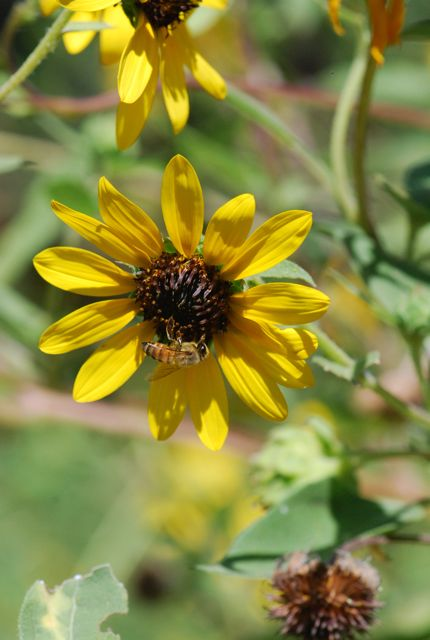sunflower-honeybee