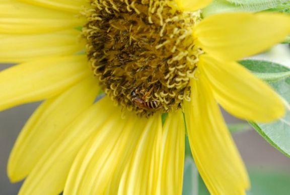 sunflower-lemon-drop