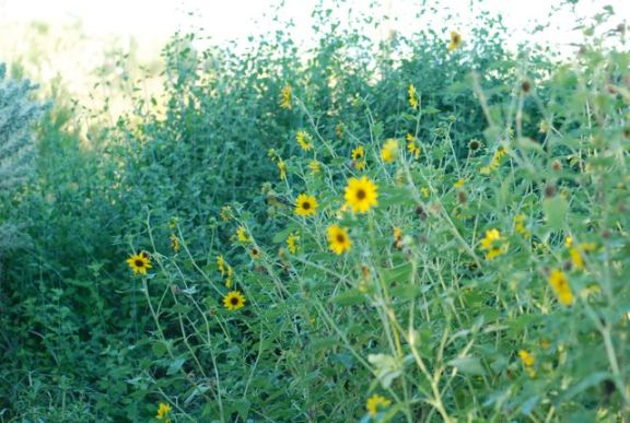 sunflower-wild