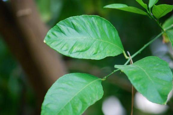 lemon-leaves