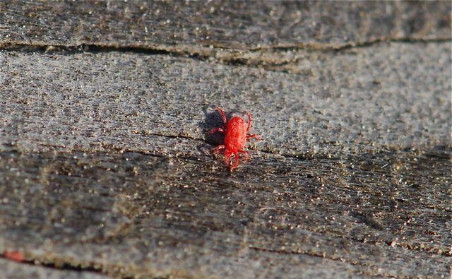 mite-red-close