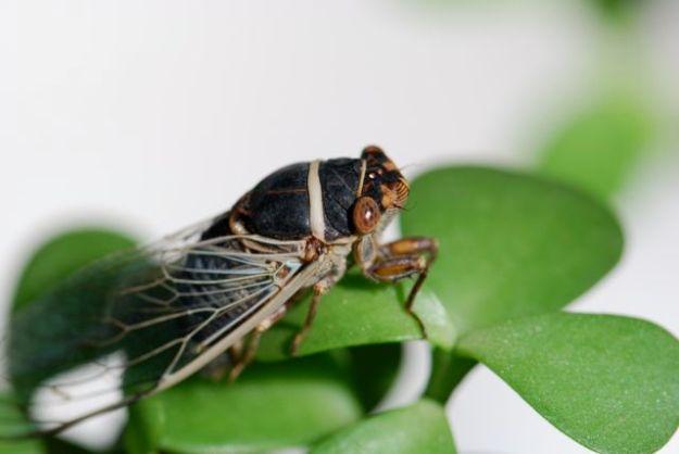 cicada-really-close