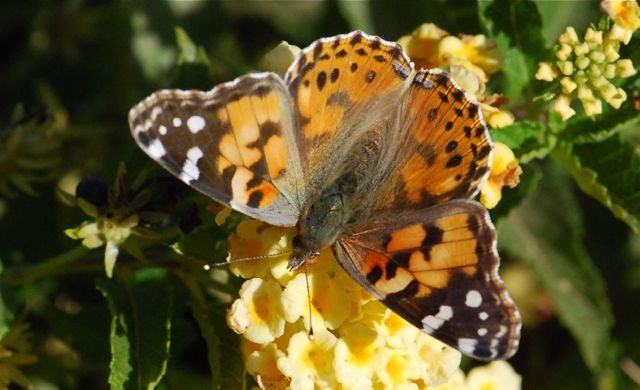 painted-lady-close