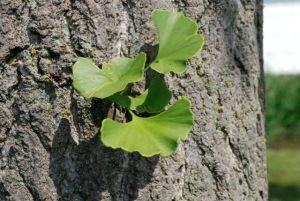 gingko-leaves-close-bark