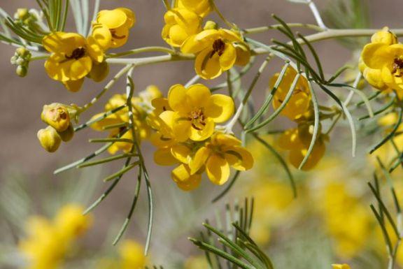 cassia-or-senna-flowers