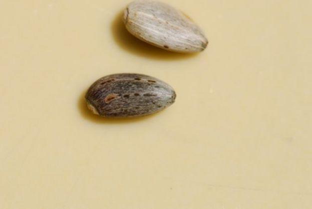 artichoke-seeds