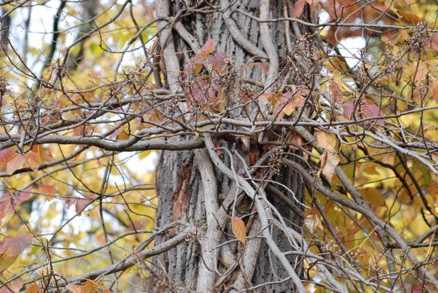 poison-ivy-vine-on-tree