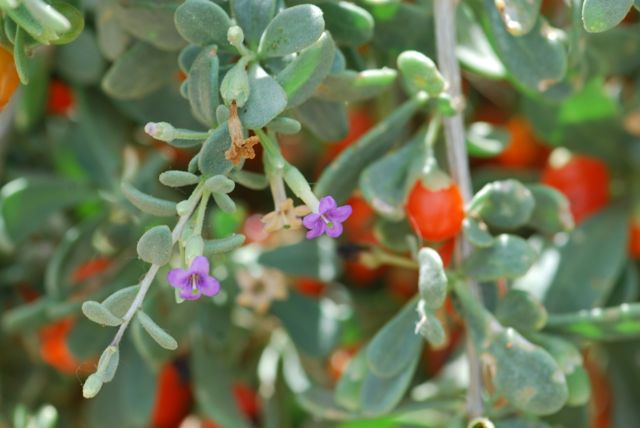 wolfberry-flower-and-fruit